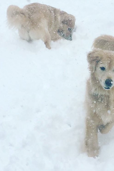 Two Goldens Are Better Than One
