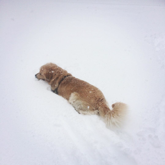 Golden Retriever Walking Through Deep Snow